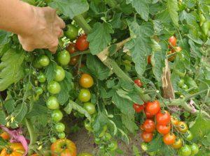 Owoce na szczepionych pomidorach - początek sierpnia