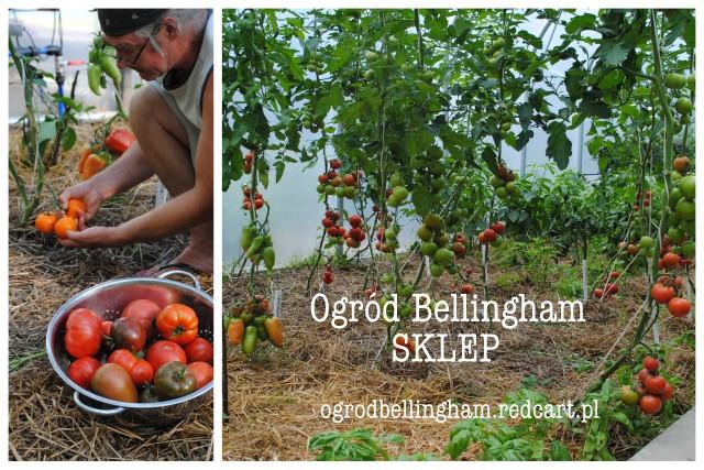 Pomidorowy konkurs Kasi i Andrew Bellingham  – wygraj szczepione pomidory w naszym wiosennym konkursie