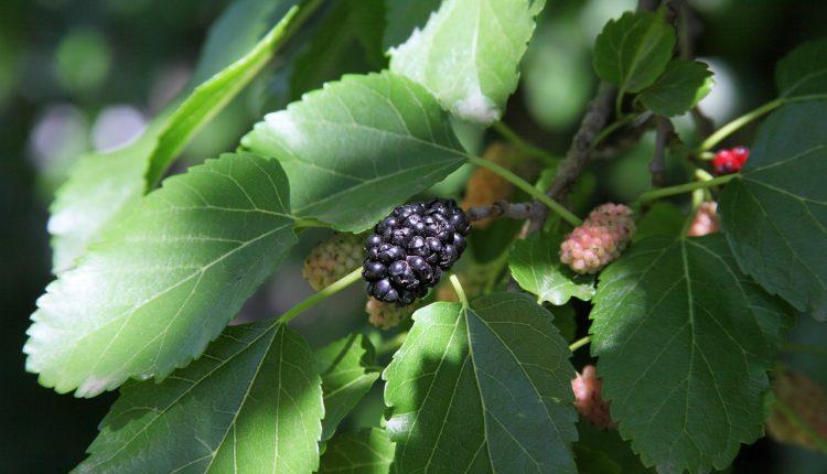 Jakie drzewa owocowe można sadzić obok siebie