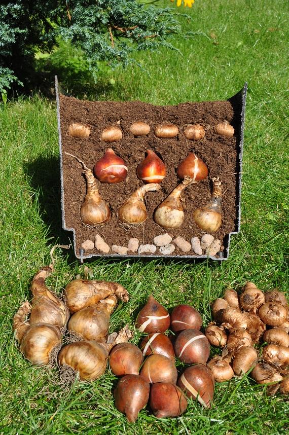 Sadzimy Rośliny Cebulowe W Donicach Naogrodowejpl