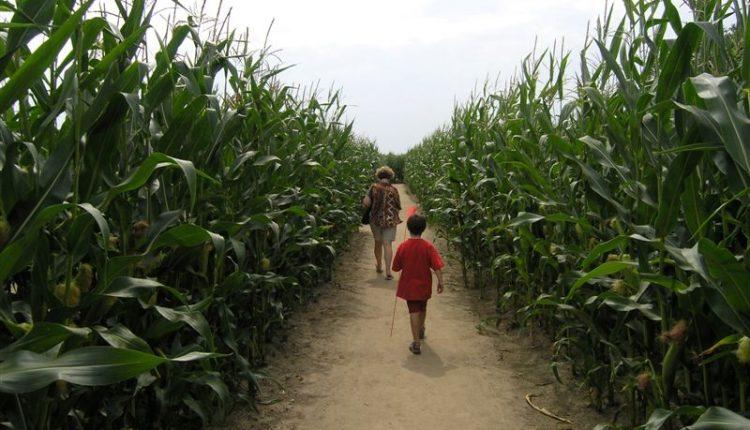 Kukurydziany Labirynt na Kaszubach