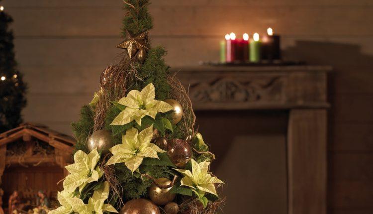 Kompozycja z poinsecją na Boże Narodzenie