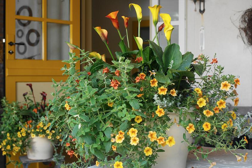 Letnie Kwiaty Cebulowe W Donicach Na Balkony I Do Ogrodu