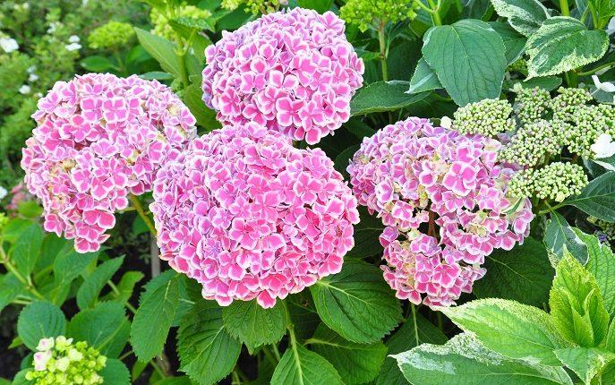 Hortensje – krzewy piękne przez całe lato