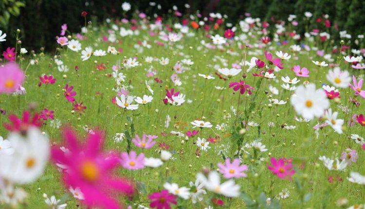 Dzika łączka z kwiatów jednorocznych