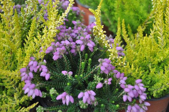 Wrzosy W Pojemnikach Kompozycje Kwiatowe Na Tarasy I
