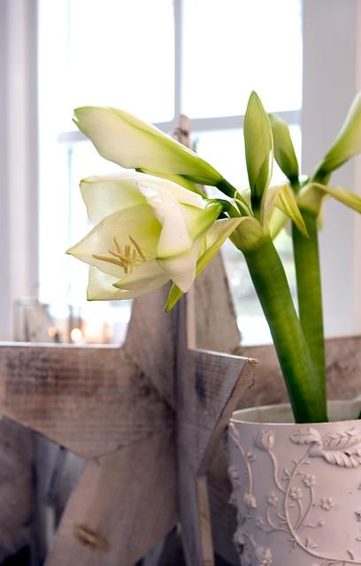 Kwiaty Cebulowe Na Boze Narodzenie Naogrodowej Pl