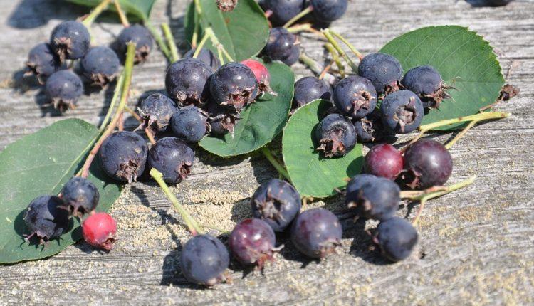 Świdośliwa – niedoceniany krzew owocowy