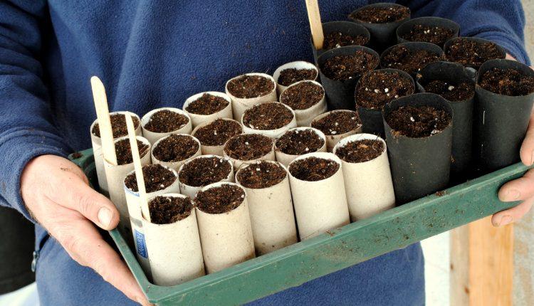 Wysiewamy nasiona groszków pachnących