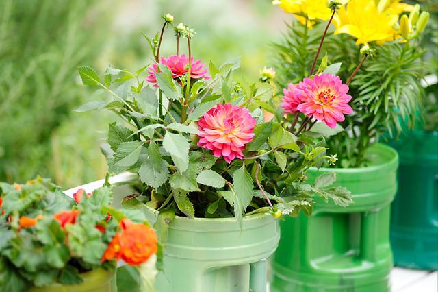 Dalie w donicach, skrzyniach i koszach kwiatowych