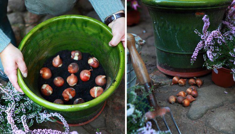 Sadzimy rośliny cebulowe w donicach