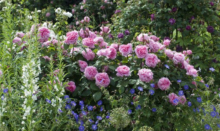 Jesienne sadzenie róż