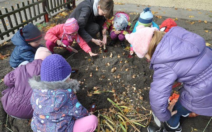 Dzieci sadzą cebulki kwiatowe w przedszkolu w Międzylesiu