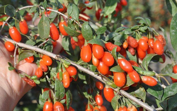 Jak uprawiać jagody goi czyli kolcowój pospolity