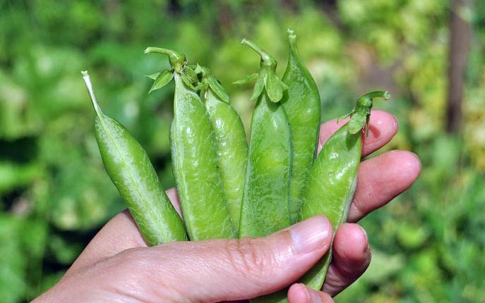 Zielony groszek, czyli pyszności prosto z grządki