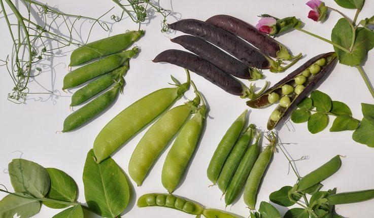 Groch – jakie odmiany posiać w warzywniku?