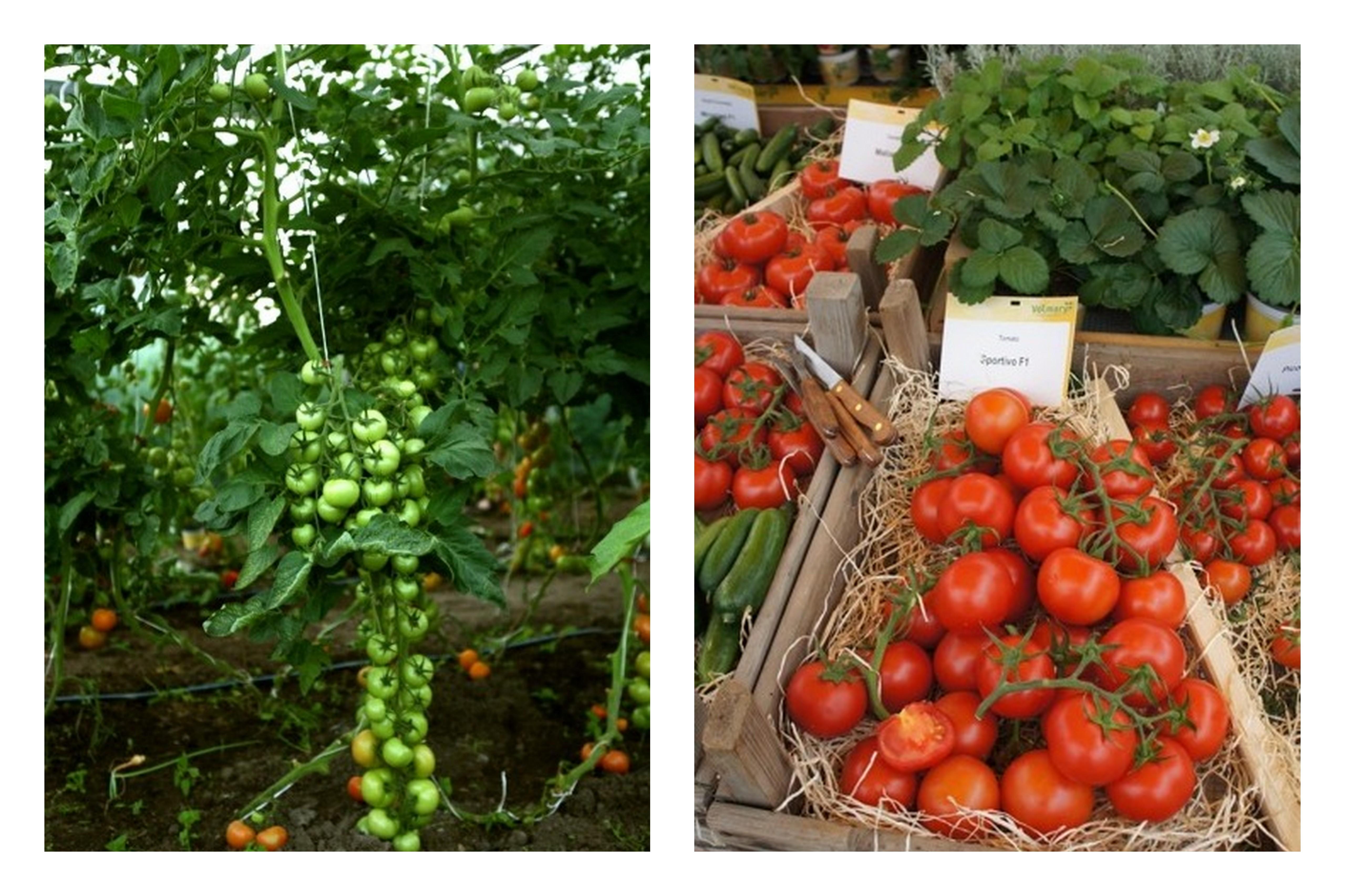 Szczepione Pomidory Czemu Warto Je Uprawiać Naogrodowejpl