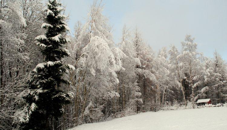 Ciężki, mokry śnieg to niebezpieczeństwo dla ogrodu