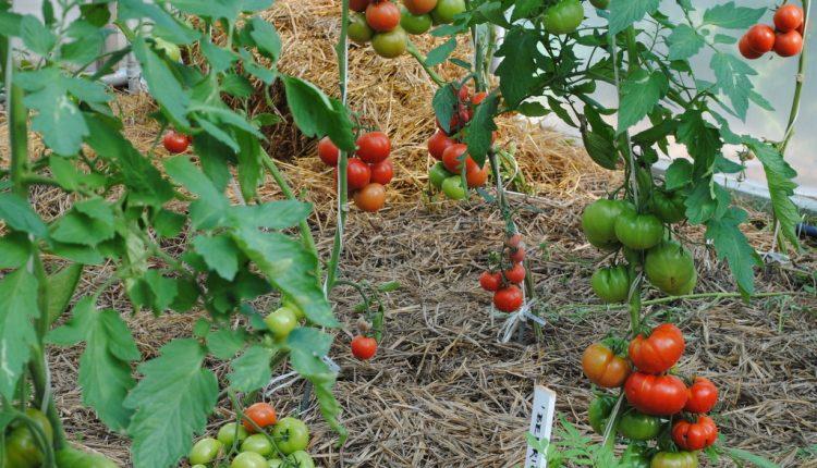 Kiedy wysiewać pomidory?