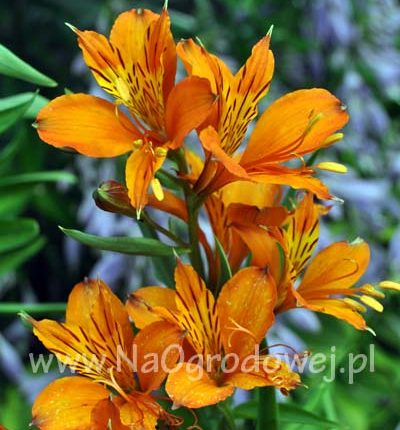Alstremeria 'Orange King'