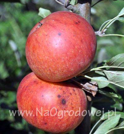 Jabłoń 'Koksa Pomarańczowa'