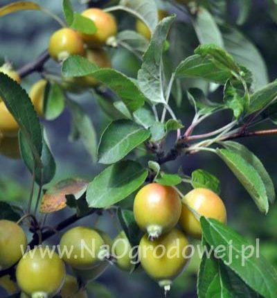 Jabłoń ozdobna 'Golden Hornet'