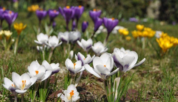 Zaplanujmy wiosnę jesienią – posadźmy krokusy.