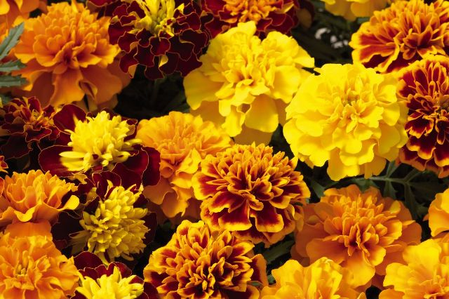 Aksamitki – jednoroczne kwiaty nie tylko dla początkujących ogrodników