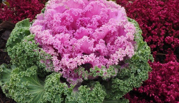 3 ornamental-cabbage-779945_960_720