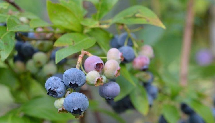 Borówka amerykańska – sadzonki, odmiany, owoce i uprawa w ogrodzie