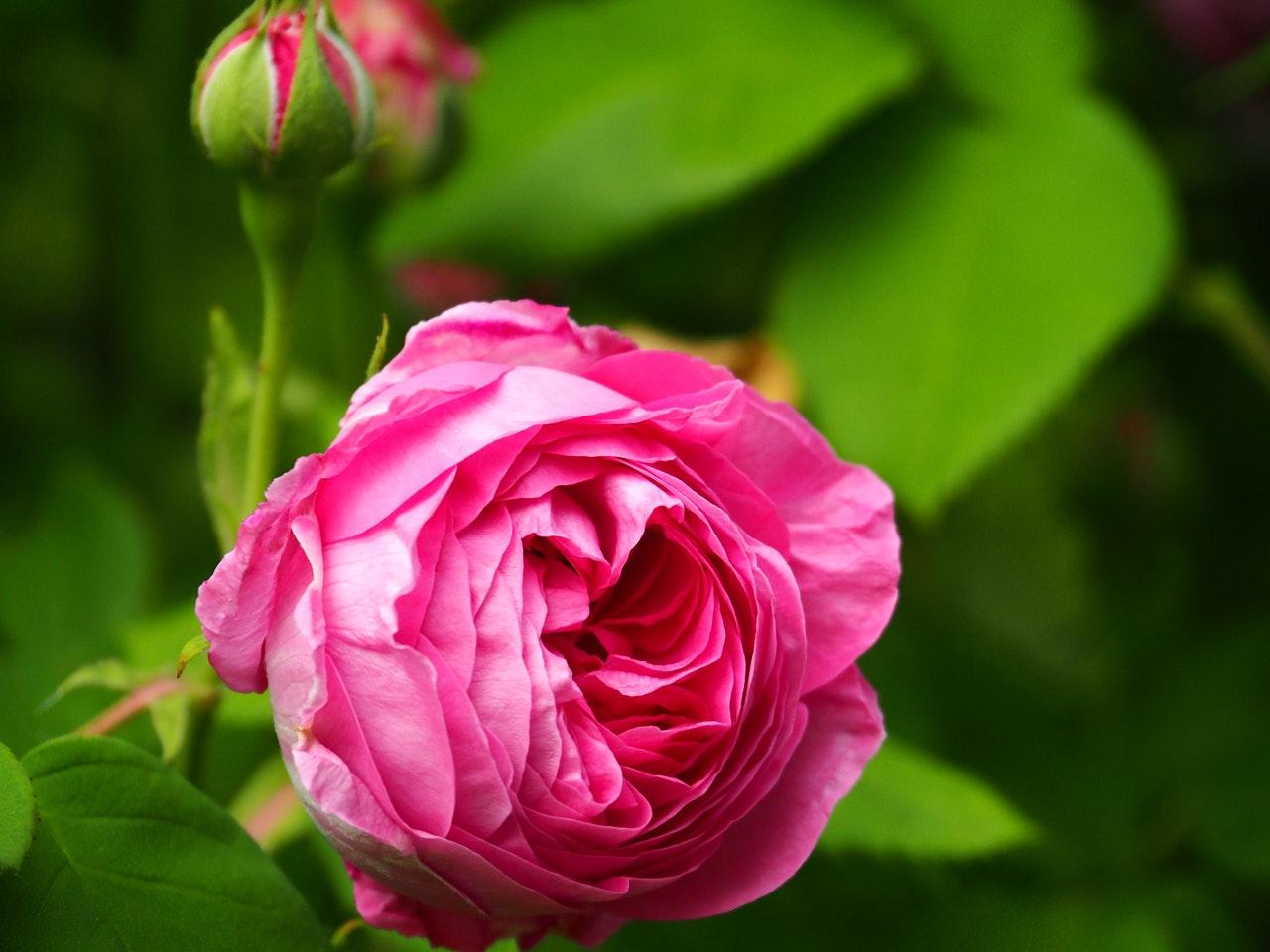 Róże – uprawa i pielęgnacja